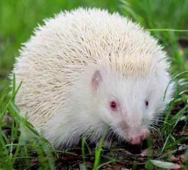 albinohedgehog1721036i.jpg