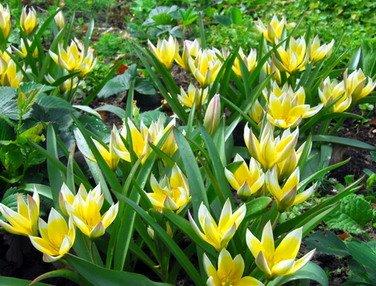 tulipestarda.jpg