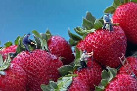fraises913648.jpg