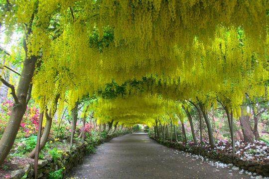 Vivement le printemps ...  cytises-jardin-bodnant-1155595